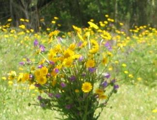 Flores-campestres